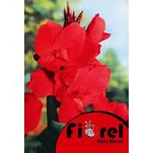 Κάννα Κόκκινη 2/3 Fiorel Ολλανδίας σε Φάκελο