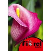 Κάλλα Ρόζ 14/ Fiorel Ολλανδίας σε Φάκελο